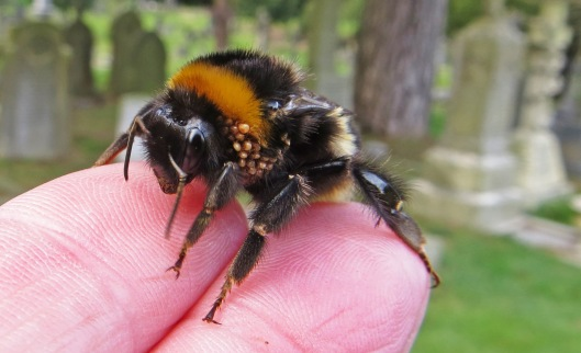 160402 Bombus terrestris Buff-tailed bumblebee