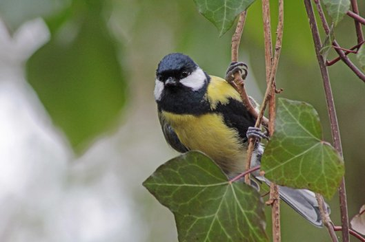 2 great tit