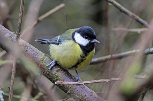 6 great tit