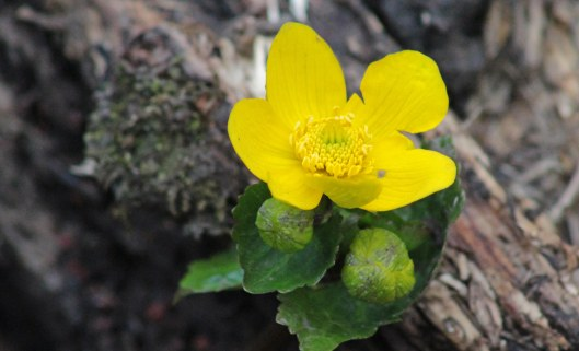 marsh marigold (1)