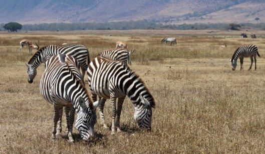 zebras (1)
