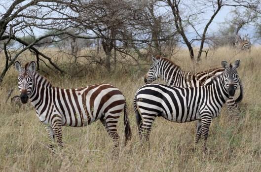 zebras (2)