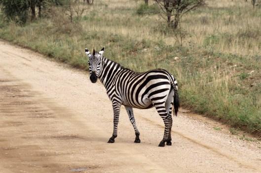 zebras (3)