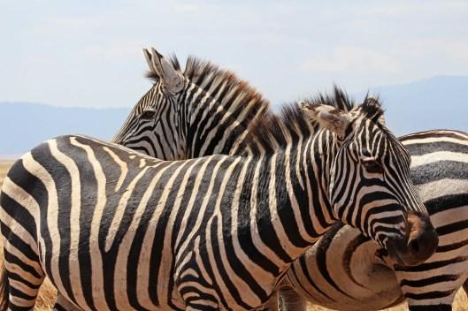 zebras (4)