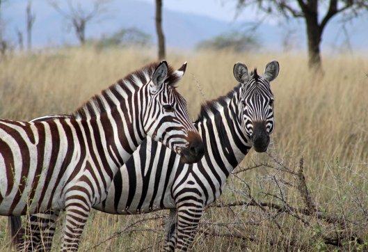 zebras (6)