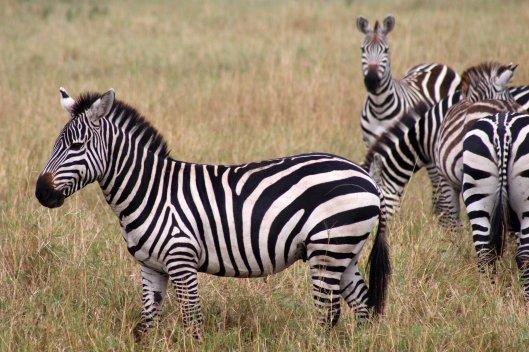 zebras (7)