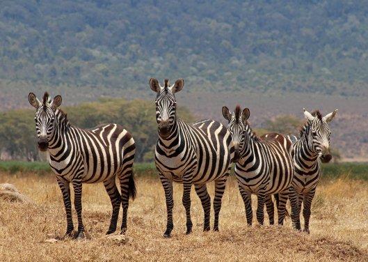 zebras (8)