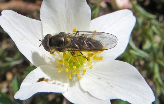 160407 Meliscaeva auricollis cathays cem