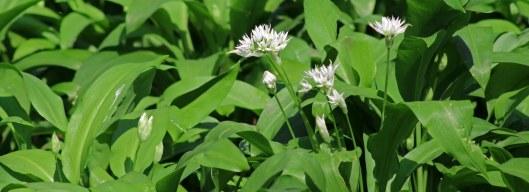 160412 wild garlic (1)