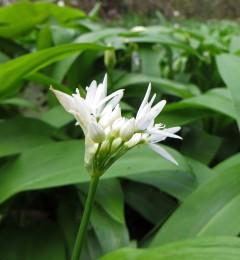 160412 wild garlic (2)