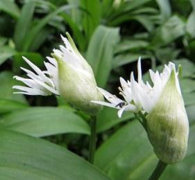 160412 wild garlic (3)