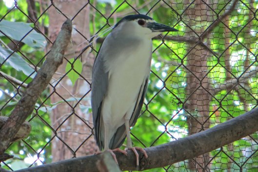 160413 Black crowned night heron cambo ACCB