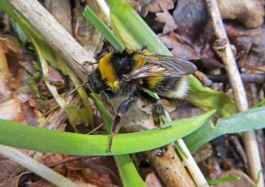 160416 Bombus hortorum Garden bumblebee Ty Rhiw