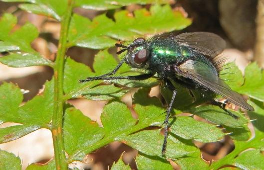 160416 Gymnochaeta viridis