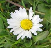 160417 daisy bellis perennis