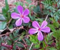 160417 geranium robertianum herb robert