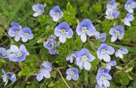 160417 germander speedwell