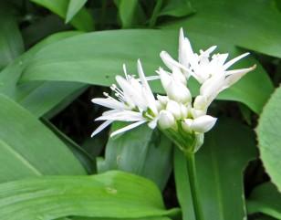 160417 wild garlic