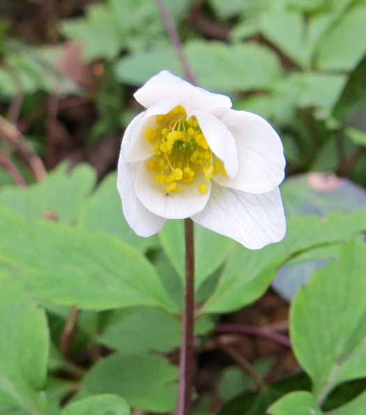 160417 wood anemone