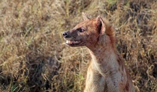 160420 hyena (1)