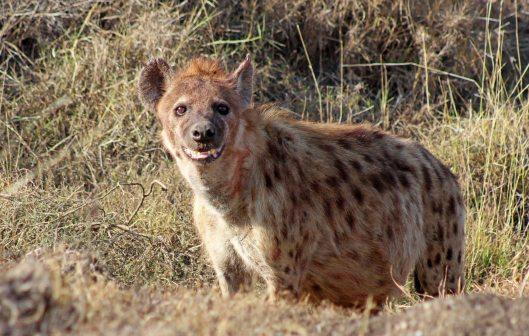160420 hyena (2a)
