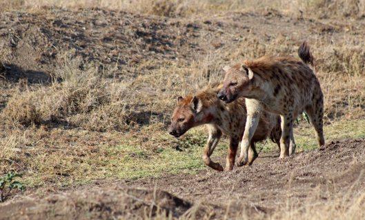 160420 hyena (3)