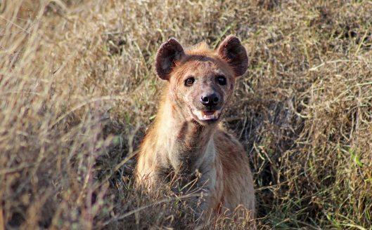 160420 hyena (4)