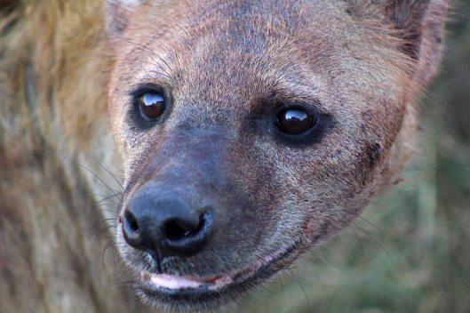 160420 hyena (5)