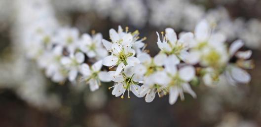 160422 blossom (1)