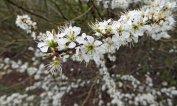 160422 blossom (3)