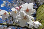 160422 blossom (4)
