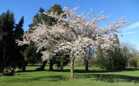 160422 blossom (5)