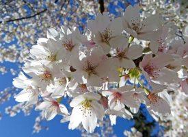 160422 blossom (6)