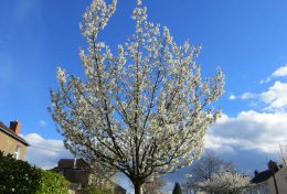 160422 blossom (9)