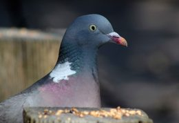 160425 wood pigeon