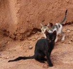 160427 cats Morocco (11)