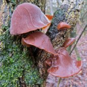 Auricularia auricula-judae Jelly ear