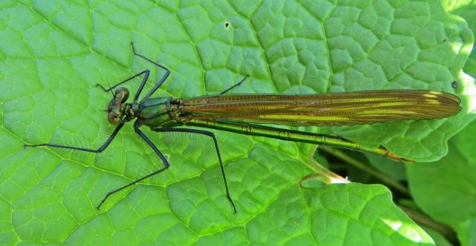 damselfly Beautiful Demoiselle female (2)