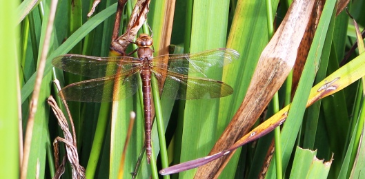 dragonfly brown hawker female