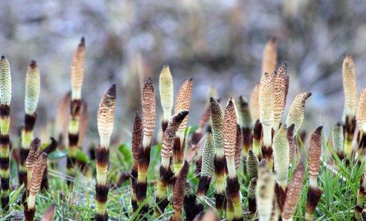 Horsetail Equisetum arvense (4)