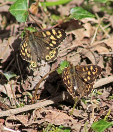 Speckled wood Cathays Cem 240416 (4)