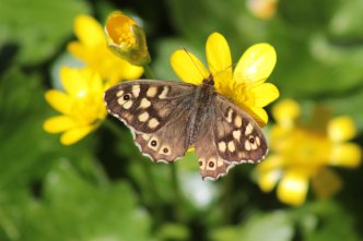 Speckled wood Pararge aegeria Penarth railtrail 200416