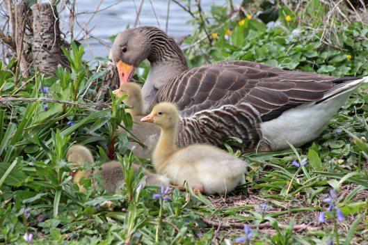 160503 goslings (2)