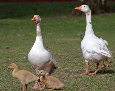 160503 goslings (4)