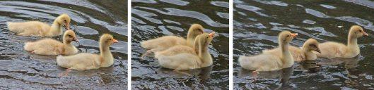 160503 goslings (6)