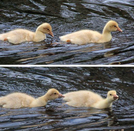 160503 goslings (7)