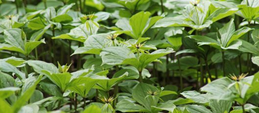 160505 Herb Paris