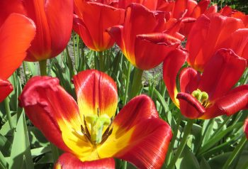 160506 tulips (1)