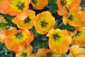 160506 tulips (2)