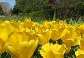 160506 tulips (3)